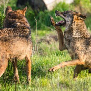Ribera y Planas irán el viernes al Senado para informar sobre la prohibición de la caza del lobo ibérico