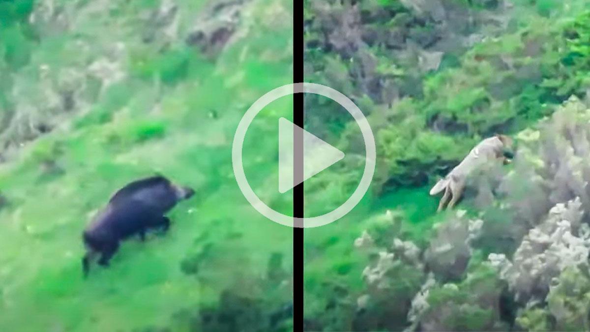 Graban a una hembra de jabalí defendiendo a sus crías del ataque de un lobo en León