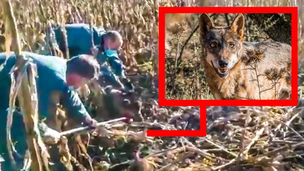 Los agentes, rescatando al lobo atrapado en el lazo. ©YouTube y Shutterstock