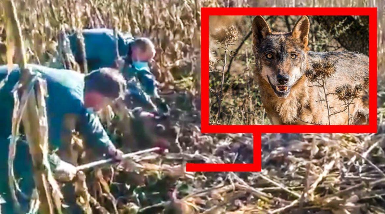 La Guardia Civil libera a un lobo que había caído en un lazo ilegal para jabalíes