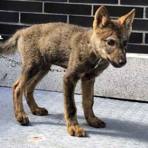 Encuentran una cría de lobo en un pueblo de León