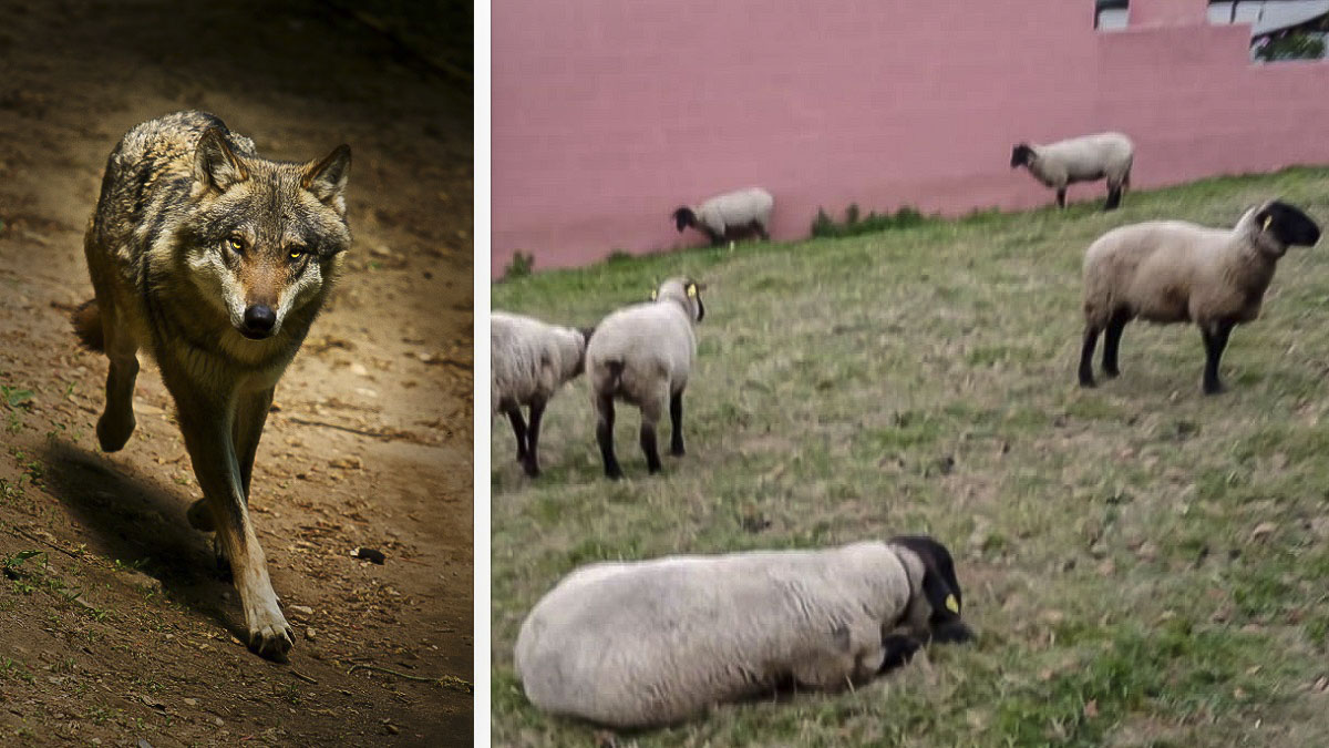 Un lobo mata varias ovejas junto a una gasolinera en Galicia