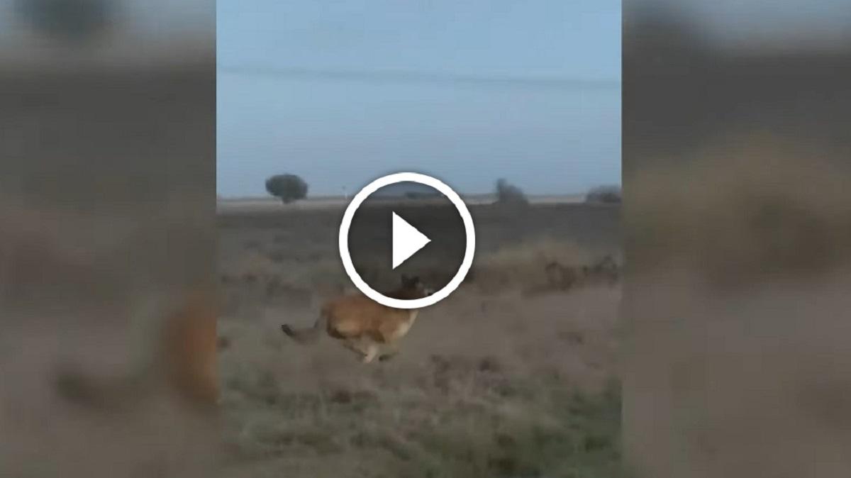 ¿Lobo o perro? ¿Qué es realmente este cánido que acecha a un pueblo en León?