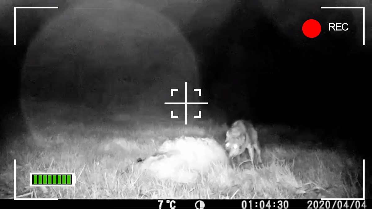 'Caza' a un lobo devorando a una oveja a solo 50 metros de un pueblo de Galicia