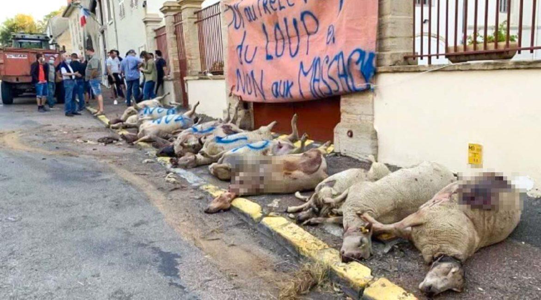 Ganaderos franceses tiran los cadáveres de ovejas muertas por el lobo frente a la Administración
