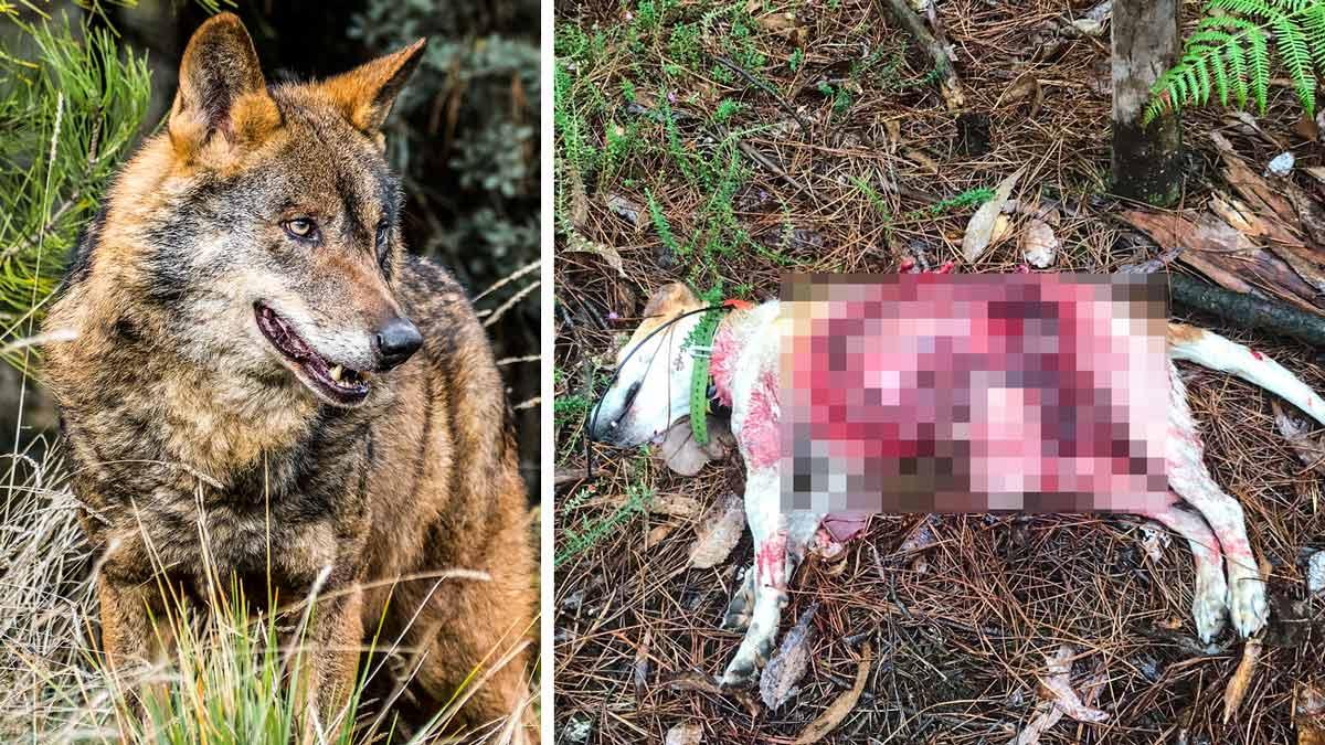 Un lobo mata a la perra de un cazador en un campo de entrenamiento de Galicia