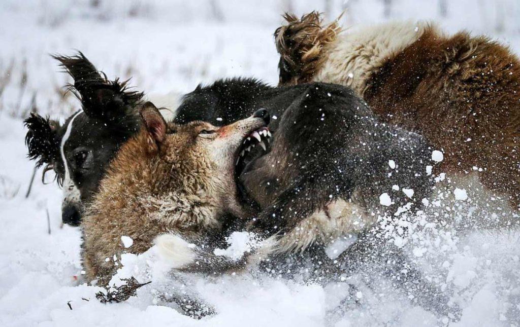 Hoy abordamos una de las formas de caza más antiguas y espectaculares de la tierra: la caza de lobos con águila y perros practicada desde hace siglos por los pueblos nómadas de Kazajstán. Te mostramos, en imágenes, qué pasa cuando el lobo se siente acorralado.