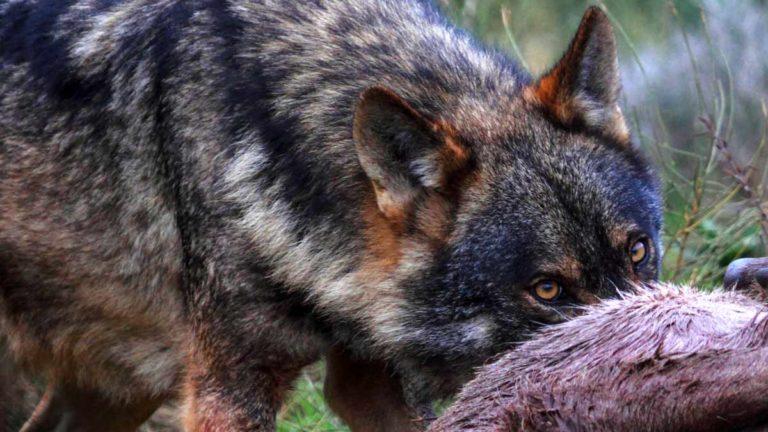 Un lobo devorando a su presa.