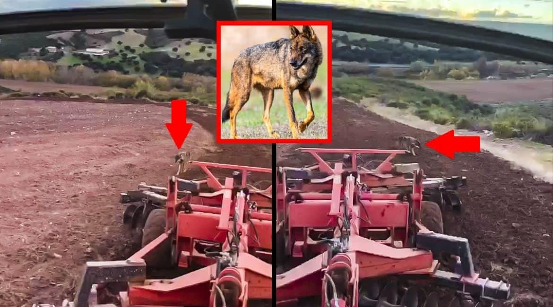 Un lobo sigue lentamente a un agricultor que trabaja en su tractor