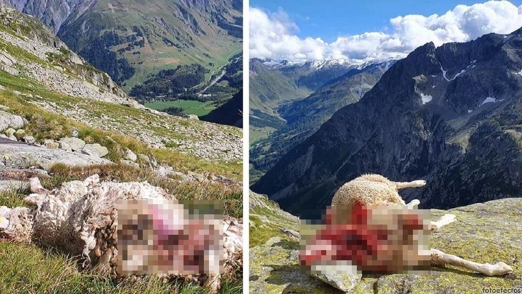 «Gracias lobos por arruinar nuestra vida»: el desgarrador testimonio viral de esta ganadera