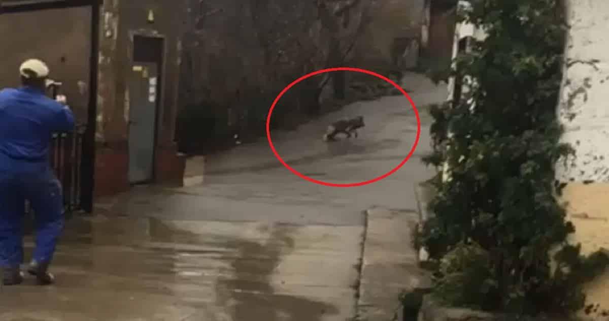 Un lobo entra en un pueblo de León en pleno día