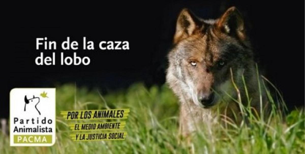 """Ecologistas y animalistas preparan un censo """"independiente"""" para """"acabar con la caza"""" del lobo ibérico"""