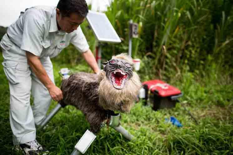 Inventan un lobo robot para espantar a los jabalíes de los cultivos