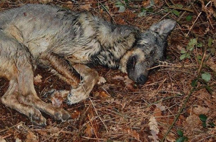 Muere un lobo por sarna y los ecologistas acusan a los cazadores