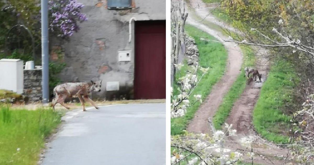 Un lobo sarnoso entra en un pueblo de León y se lleva un perro para comérselo