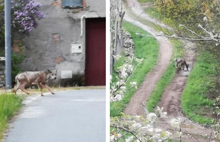 El lobo, afectado por la sarna, ha sido fotografiado en varios pueblos. /Imanol Fernández