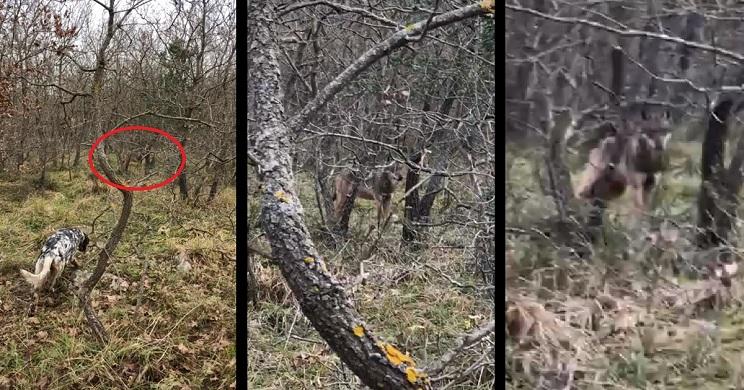 lobo se para frente al perro de un cazador