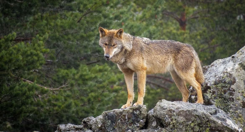 Abaten 12 lobos en León de los 53 que establecía el cupo para la temporada