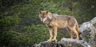 equipo de cazadores para controlar al lobo