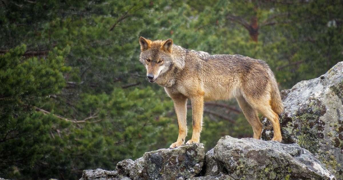 lobo-sur-del-duero-destacada