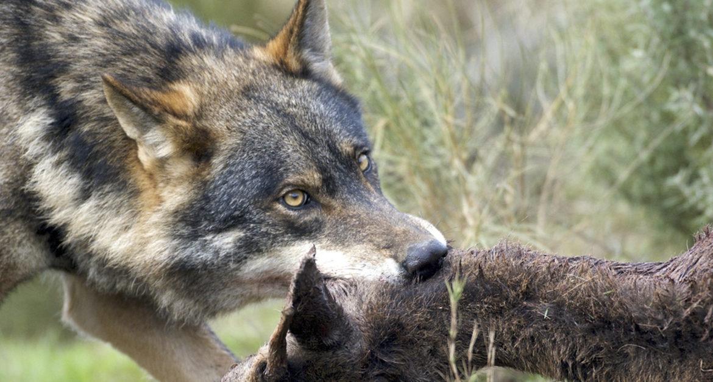 Agricultores y ganaderos exigen que se cacen ciervos, jabalíes y lobos en Castilla y León
