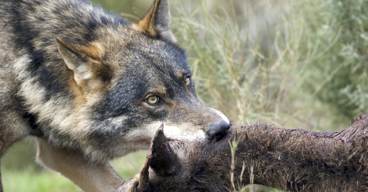 La ONC rechaza la propuesta de EQUO/Podemos sobre el lobo