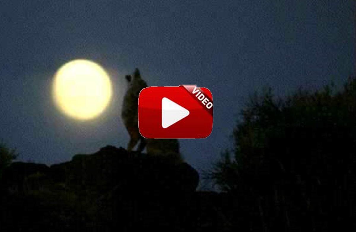 Observa el aullido del lobo grabado por una cámara de fototrampeo