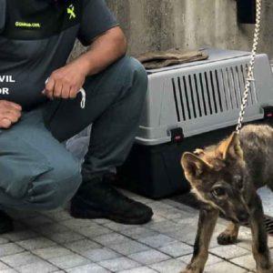 Muere en Valladolid el cachorro de lobo encontrado en León