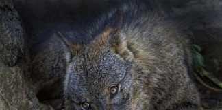 vídeos sobre el lobo