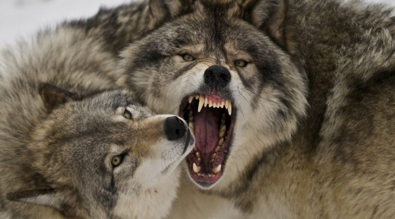 Noruega planea cazar las dos terceras partes de su población de lobos