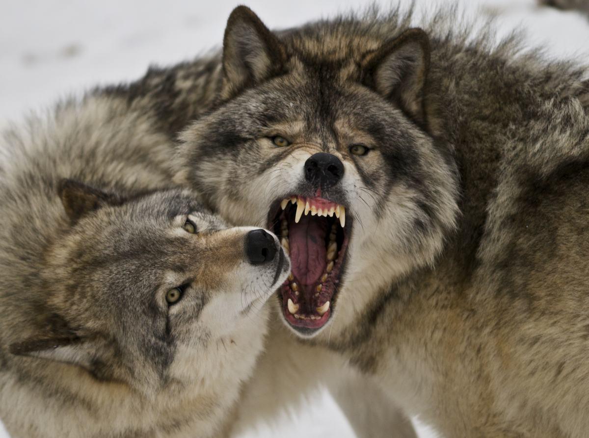 lobos-noruega