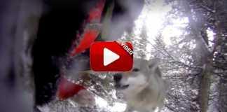 lobos atacan perros de caza.
