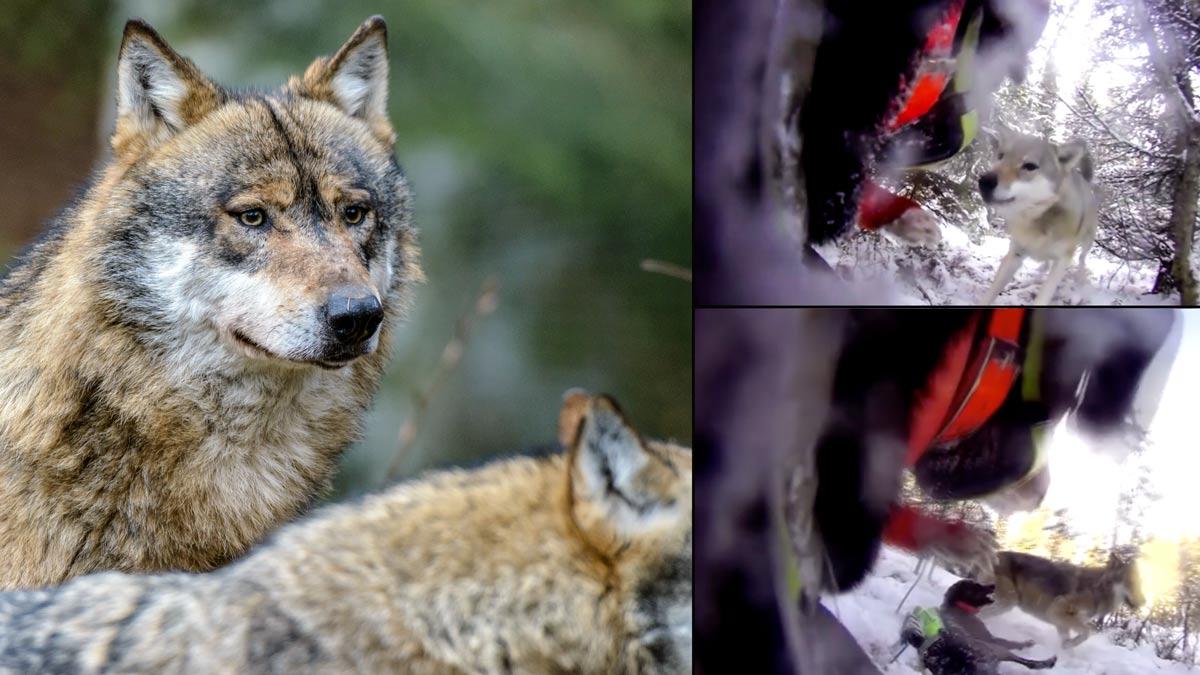 Esto es lo que pasa cuando varios perros de caza entran en tierra de lobos