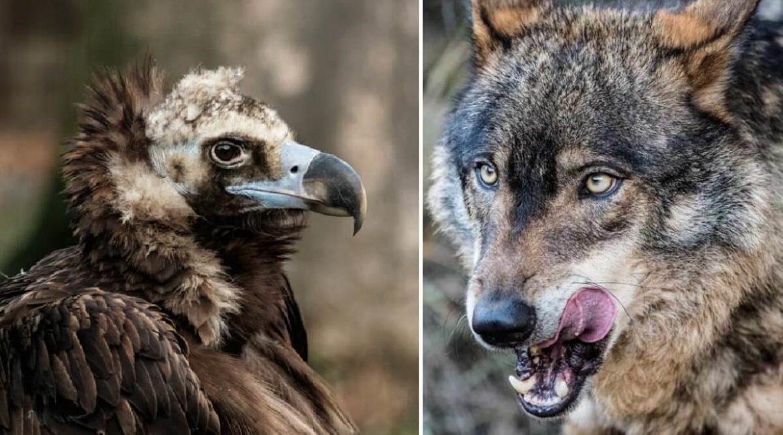 Los ganaderos de CLM ya pueden pedir ayudas por los ataques de lobos o buitres