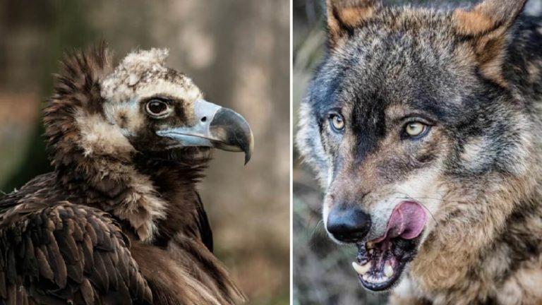 lobos buitres