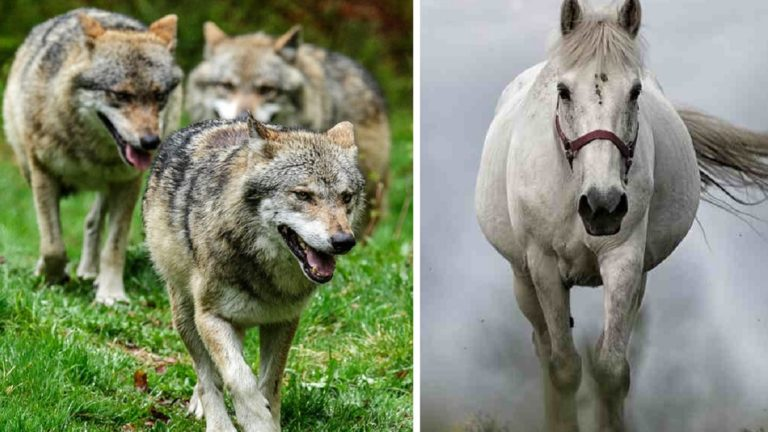lobos caballos