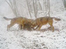 lobos cazan jabali