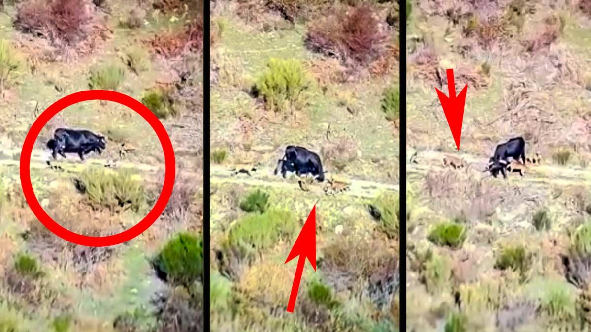 Graban a un grupo de perros tratando de dar caza a una vaca