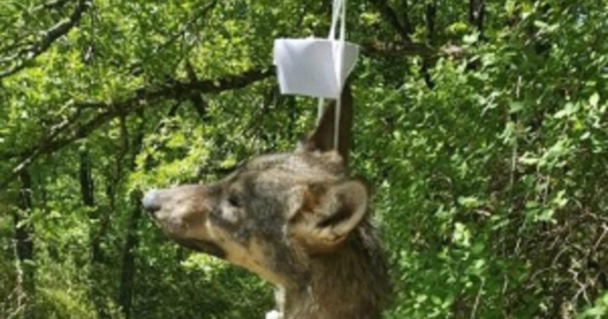 Aparecen también en Italia lobos colgados en señales de tráfico