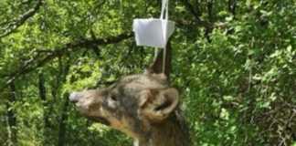 lobos colgados en señales de tráfico