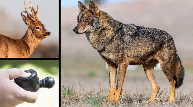 Dos lobos van a por un cazador que simulaba ser un corzo