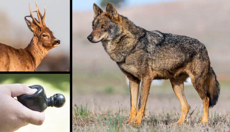 Corzo, reclamo para esta especie y lobo ibérico.