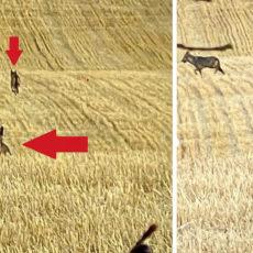 Habla el cazador que grabó a los lobos que intentaban cazar a un corzo: «Estuvimos a 10 metros de ellos»