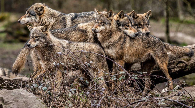Alemania y Francia sólo suman la mitad de lobos que España, pero sí permiten su caza