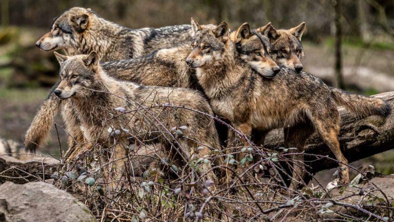 Familia de lobos grises. ©Shutterstock