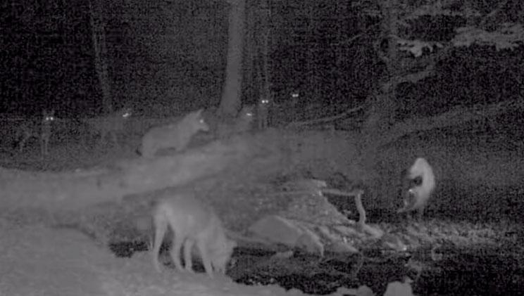 Una cámara trampa graba a una manada de lobos intentando matar a un jabalí