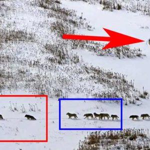 Este inspirador mensaje viral de una gran manada de lobos es falso, la realidad es más dura