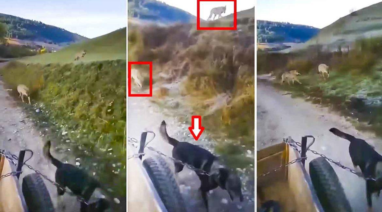 Graba el terrorífico momento en el que dos lobos le persiguen