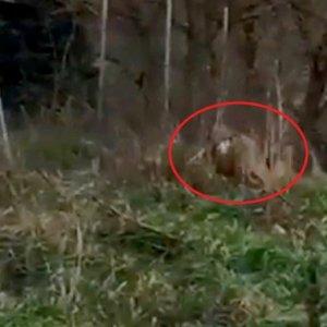Graban a dos lobos que atacan a un perro junto a un pueblo