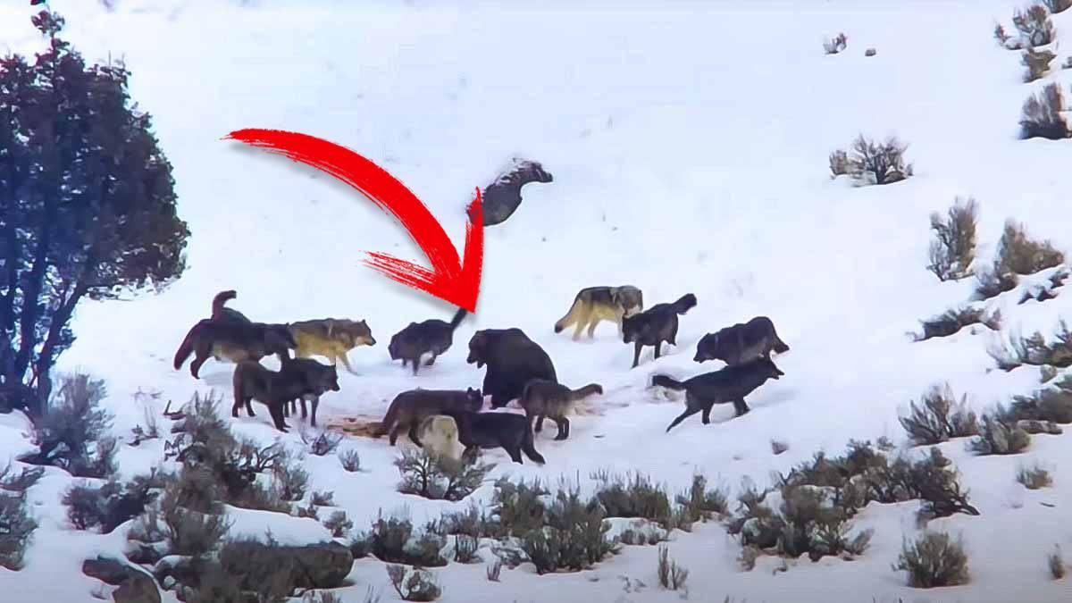 Así reacciona un oso al verse acorralado por 14 lobos